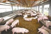 How to reduce pollution in the construction of pig farms?