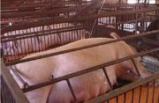 The manure handling system of the pig farm