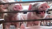 Does your pig house have an emergency ventilation system?