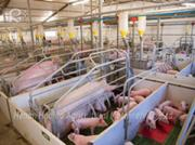 A brief analysis of the role of pig-raising equipment