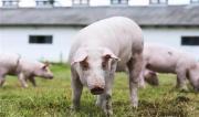 The most profitable scale pig farm construction guide