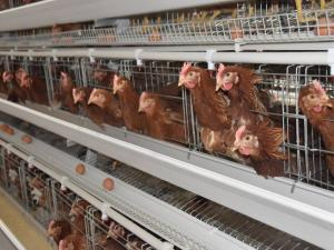 H Type Chicken Cage System